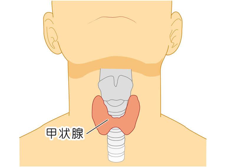 甲状腺の役割